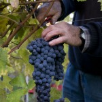 resized_vendemmia mano guido