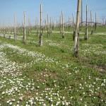 resized_vigna fiorita 1